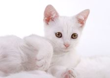 Kätzchen auf weißem Pelz Stockbilder