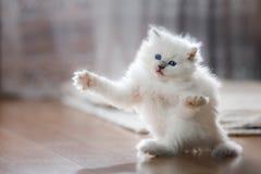Kätzchen blauen Punktes Ragdoll Stockfoto