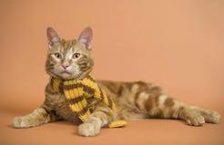 Kätzchen (Brut - kurilian Bobtail) Lizenzfreies Stockfoto