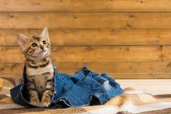 Kätzchen, das auf Jeans sitzt und oben schaut Lizenzfreie Stockfotografie