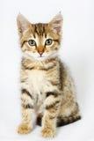 Kätzchen, das auf weißem Hintergrund sitzt Stockfotografie