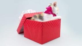 Kätzchen, das durch den Sprung zwischen den Deckel und den Kasten lokalisiert auf einem weißen Hintergrund späht Kleines Kätzchen stock footage