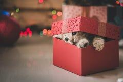 Kätzchen, das in einer Geschenkbox spielt Stockbild
