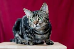 Kätzchen, das für Porträt aufwirft Stockbild