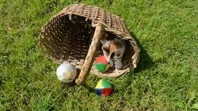 Kätzchen, das im alten Korb mit Kugel spielt stock video