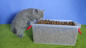 Kätzchen, das Nahrung für Haustiere vom Kasten isst stock footage