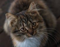 Kätzchen, das oben schaut, sitzend auf dem Bretterboden Stockbilder