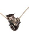 Kätzchen, das Seil anhaftet stockfotografie