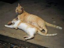 Kätzchen, das in seinem Mutter ` s Schoss stillsteht stockbilder