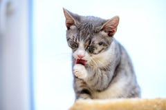 Kätzchen, das Tatze leckt Stockfotos