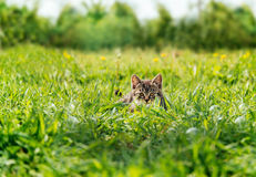 Kätzchen, das unter grünem Gras sich versteckt Lizenzfreie Stockbilder
