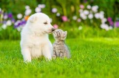 Kätzchen, das weißen Schweizer Schäfer ` s Welpen auf grünem Gras küsst Stockbild