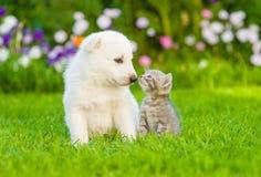 Kätzchen, das weißen Schweizer Schäfer ` s Welpen auf grünem Gras küsst Stockfotografie