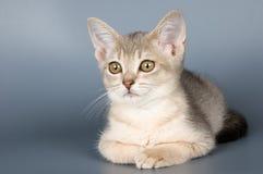 Kätzchen der abyssinischen Brut Lizenzfreies Stockfoto