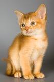 Kätzchen der abyssinischen Brut Lizenzfreie Stockfotografie