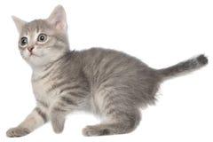 Kätzchen der Britisch Kurzhaar-getigerten Katze lustig Lizenzfreie Stockfotografie
