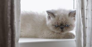 Kätzchen der exotischen Kurzhaarkatze Stockfotografie