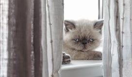 Kätzchen der exotischen Kurzhaarkatze Lizenzfreies Stockbild