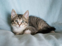 Kätzchen der getigerten Katze Stockbilder
