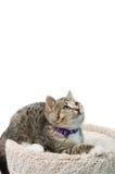 Kätzchen der getigerten Katze Stockbild