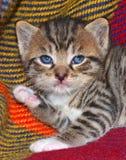 Kätzchen der getigerten Katze Stockfotos
