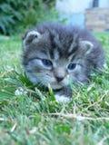 Kätzchen der getigerten Katze Lizenzfreies Stockfoto