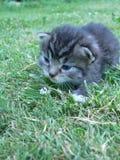Kätzchen der getigerten Katze Stockfoto