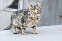 Kätzchen der getigerten Katze Lizenzfreie Stockbilder