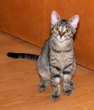 Kätzchen der getigerten Katze, das auf Boden sitzt Lizenzfreies Stockbild