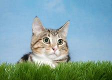 Kätzchen der getigerten Katze im Gras Stockfotos