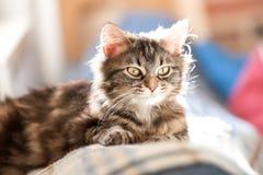 Kätzchen der getigerten Katze mit natürlichem Backlighting stockfoto