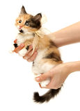 Kätzchen in der Hand gebunden in einem Bogen getrennt auf Weiß Lizenzfreie Stockbilder
