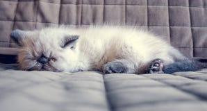 Kätzchen der Schlafenexotischen kurzhaarkatze Stockfotos