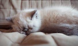 Kätzchen der Schlafenexotischen kurzhaarkatze Lizenzfreies Stockfoto