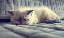 Kätzchen der Schlafenexotischen kurzhaarkatze Lizenzfreie Stockfotografie