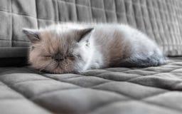 Kätzchen der Schlafenexotischen kurzhaarkatze Stockfoto