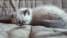 Kätzchen der Schlafenexotischen kurzhaarkatze Stockbild
