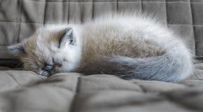 Kätzchen der Schlafenexotischen kurzhaarkatze Lizenzfreie Stockbilder