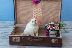 Kätzchen des alten Koffers des schottischen geraden Zuchtinneres mit bouqu Lizenzfreie Stockfotos