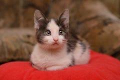Kätzchen des grauen Weiß, das auf einem roten Kissen sitzt stockfotografie