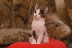 Kätzchen des grauen Weiß, das auf einem roten Kissen sitzt stockfoto