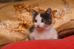 Kätzchen des grauen Weiß, das auf einem roten Kissen sitzt stockbild