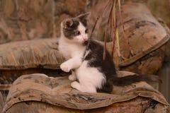 Kätzchen des grauen Weiß, das im Haus spielt Stockbilder