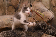 Kätzchen des grauen Weiß, das im Haus spielt Lizenzfreie Stockfotos