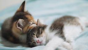 Kätzchen des Weiß zwei, das Schlafbiss spielt Lustiger Biss zwei, der die spielerischen kleinen Haarkätzchen spielen mit jedem kä stock video footage