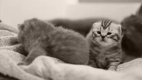 Kätzchen, die auf dem Tuch sitzen stock video