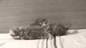 Kätzchen, die auf der Couch schrägen stock footage