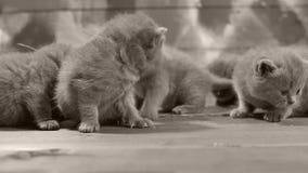 Kätzchen, die auf einem hölzernen Hintergrund, Nahaufnahme spielen stock footage