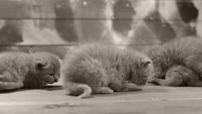 Kätzchen, die auf einem hölzernen Hintergrund, Nahaufnahme spielen stock video
