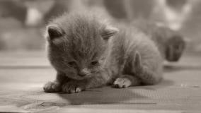 Kätzchen, die auf einem hölzernen Hintergrund, Nahaufnahme spielen stock video footage